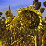 Postcard from Cognac, France – Soldier Sunflowers