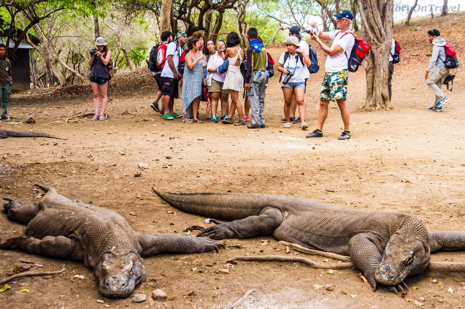 Komodo dragons the largest species of monitor lizard at Loh Buaya on Rinca island in the Komodo archipelago of the Republic of Indonesia Iain_Mallory_Indo14712