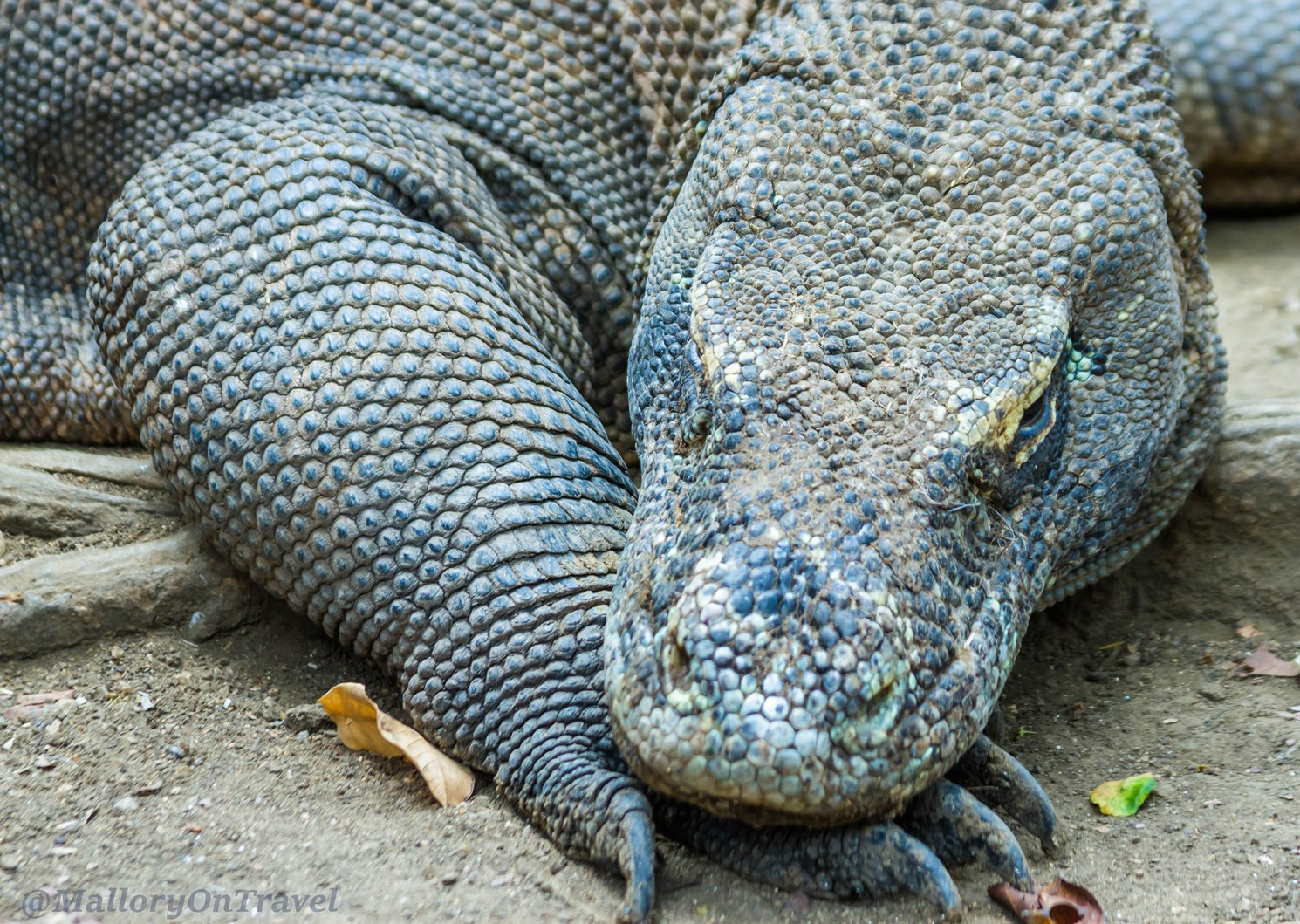 komodo dragon research paper Essays - largest database of quality sample essays and research papers on komodo dragons.