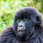 Postcards from the Titus Gorilla Troop