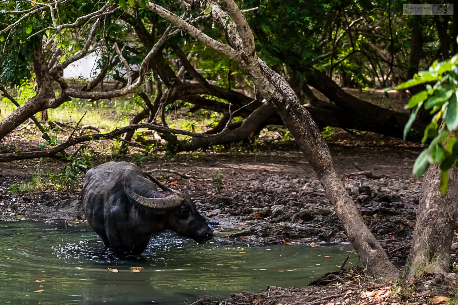Photographing wildlife, a water buffalo on Rinca Island in Komodo National Park, the Republic of Indonesia iain-mallory_indo-001-21