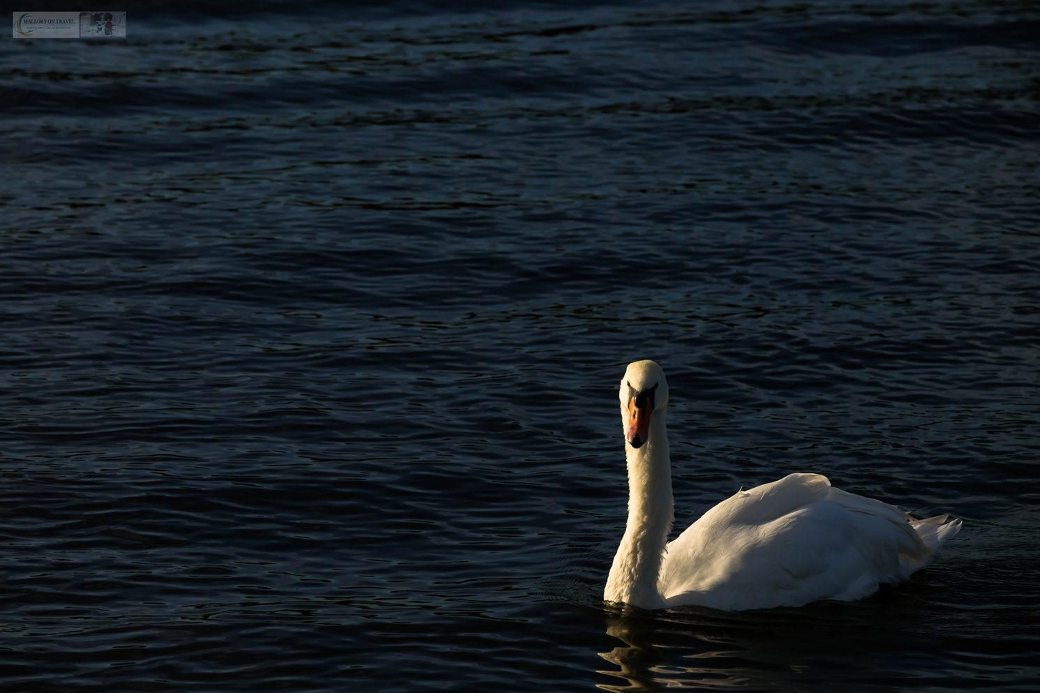 A swan on the Norfolk Broads National Park in the East Anglia county of Norfolk, England in the United Kingdom on Mallory on Travel adventure travel, photography, travel iain-mallory_norfolk-012