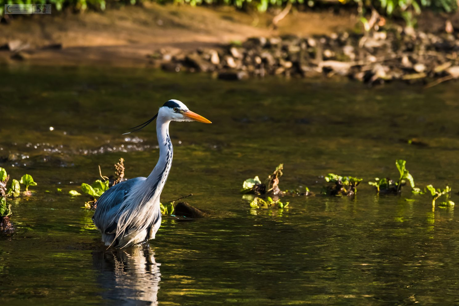 Wildlife photography; A grey heron fishing on the River Goyt in Brabyns Park, near Marple Bridge, Cheshire on Mallory on Travel adventure travel, photography, travel Iain Mallory_Goyt-1-4