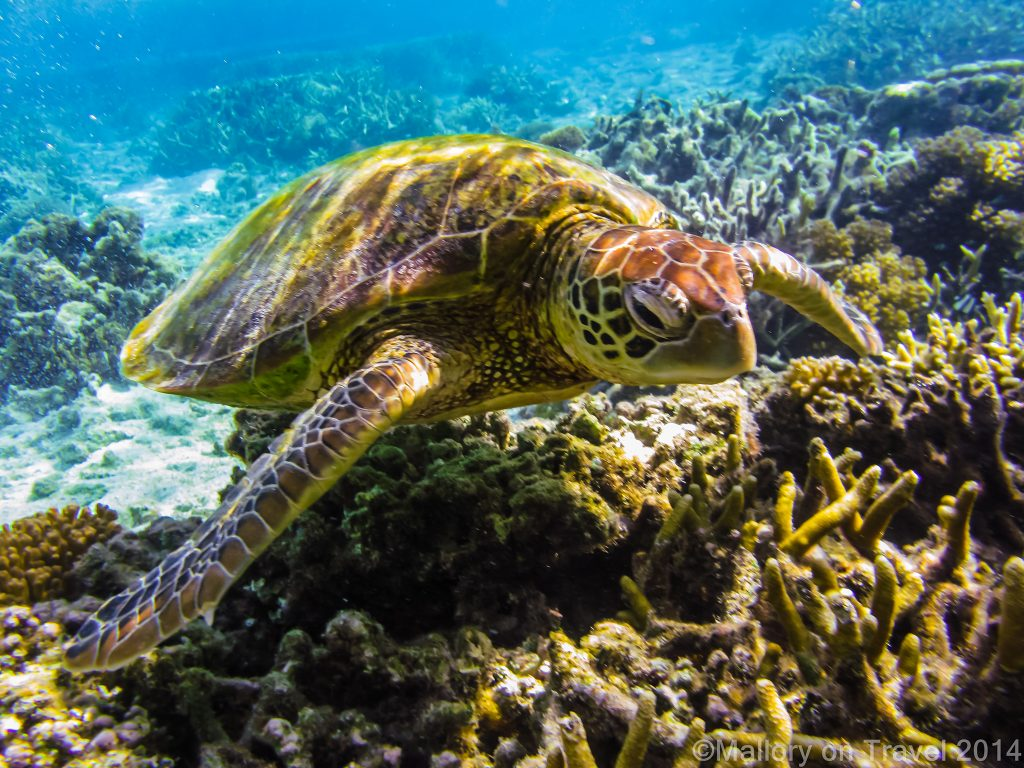 Wildlife photography; A green turtle on the Great Barrier Reef, off Lady Elliot Island, Queensland, Australia on Mallory on Travel adventure travel, photography, travel Iain Mallory-300-42