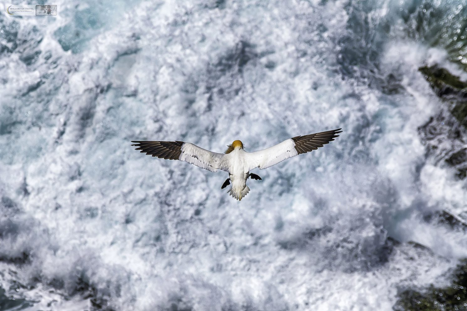 A nesting gannet returning to the rookery on Bird Rock with nesting material at St. Mary's Ecological Reserve on the Avalon Peninsula in the province of Newfoundland and Labrador, Canada on Mallory on Travel adventure travel, photography, travel Iain Mallory_Newfoundland 013