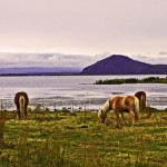 Postcard from Lake Mývatn and Icelandic horses