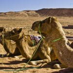 Camels; Travel icon of the Desert – A photo essay