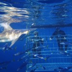 Shark Cage Diving: Encounters with Oceanic Ghosts