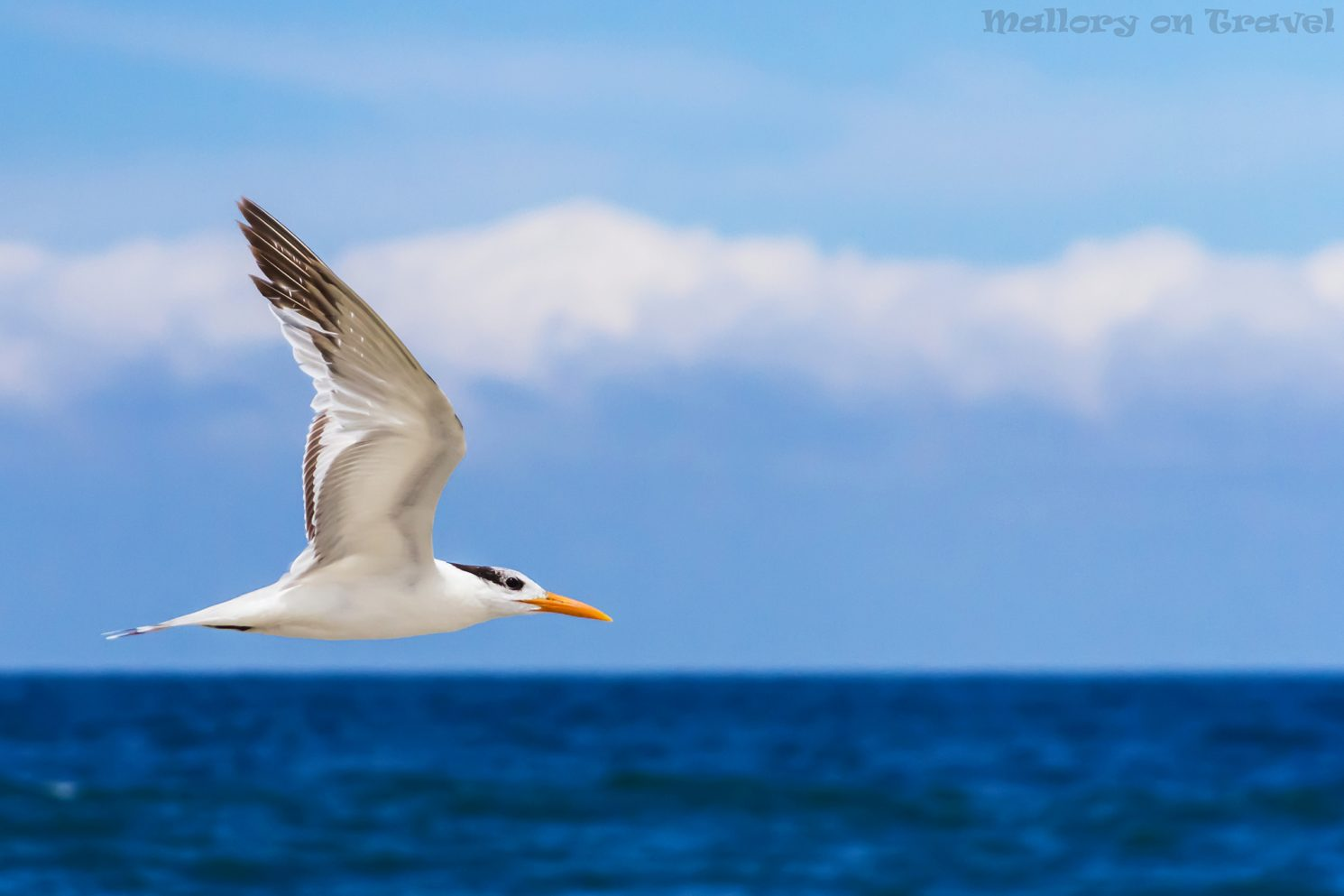 Freedom is epitomised by a tern in flight in Riviera Maya, Mexico on Mallory on Travel adventure travel, photography, travel Iain_Mallory_mex16734