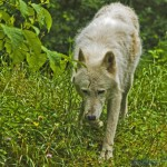 Celebrating the Return of the Wolf Howl; Song of the Wild