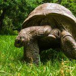 Jonathan the Giant Tortoise, St Helena's celebrity Resident