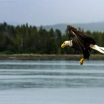 Bald Eagles in Flight; The Prince Rupert Airshow