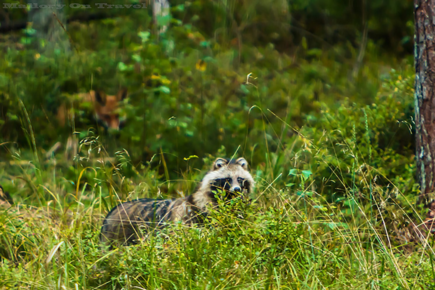 A woodland fox and raccoon dogs in the Alutaguse region of Estonia on Mallory on Travel adventure, adventure travel, photography Iain_Mallory_Est1402199 estonian_wildlife