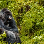 Trekking for Gorillas in the Mist – Rwanda