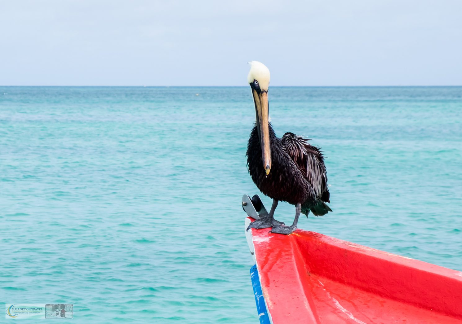 A pelican at the quayside on the Caribbean island of Aruba on Mallory on Travel adventure travel, photography, travel iain-mallory_aruba-1