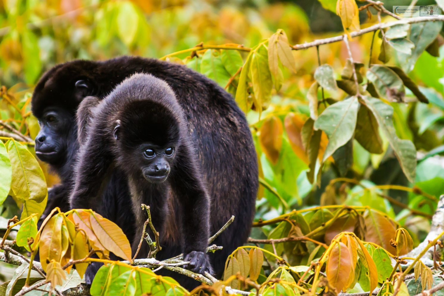 A howler monkey in the cloud forests of Costa Rica, Central America on Mallory on Travel adventure travel, photography, travel Iain Mallory_CostaRica 001-62