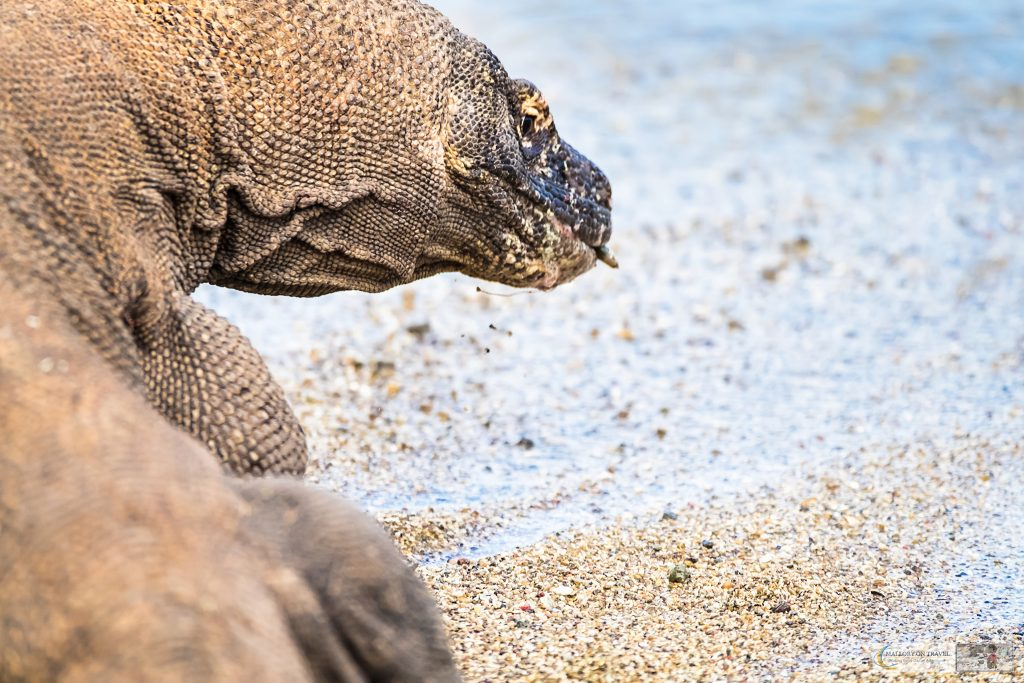 Wildlife photography; a komodo dragon, the world's largest lizard in Komodo National Park in the Republic of Indonesia on Mallory on Travel adventure travel, photography, travel Iain Mallory_Indo 001-85