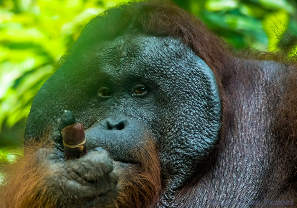 Wildlife photography; a male orangutan in Kalimantan, the Indonesia section of the island of Borneo, at a camp along the Sekonyer River on Mallory on Travel adventure travel, photography, travel Iain Mallory_Indo-1-287