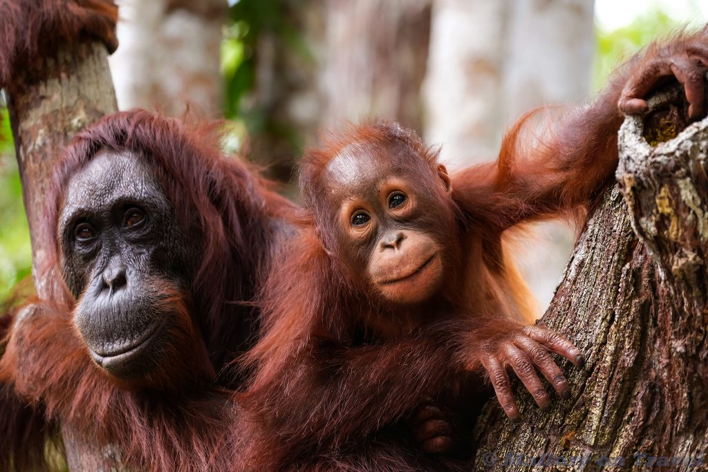 Wildlife photography; A orangutan family at Camp Leakey, Kalimantan, the Indonesia part of the island of Borneo, the Republic of Indonesia on Mallory on Travel adventure travel, photography, travel Iain Mallory_Indo093036