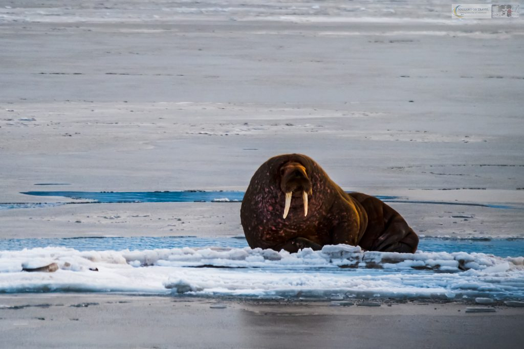 Wildlife photography; A walrus in the Norwegian archipelago of Svalbard, inside the Arctic Circle on Mallory on Travel adventure travel, photography, travel Iain Mallory_Svalbard-1-122