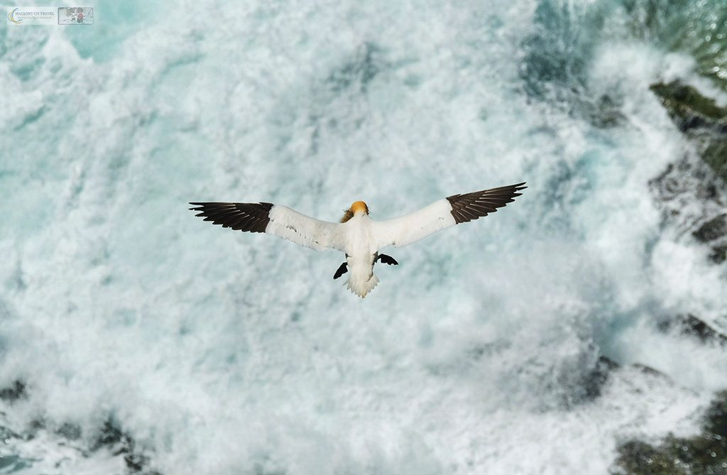 Wildlife photography; A north Atlantic gannet at Cape St Mary's Ecological Reserve, Newfoundland and Labrador, Canada on Mallory on Travel adventure travel, photography, travel Iain Mallory_stjohns-20a