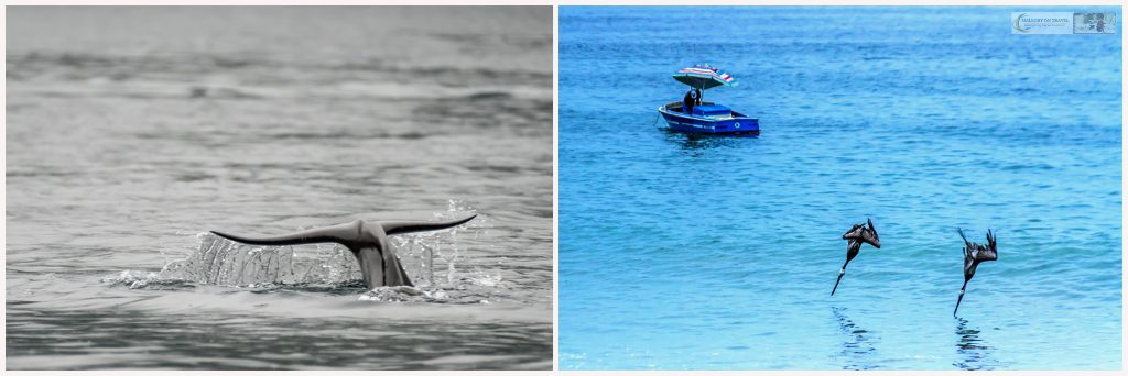 Wildlife photography; a pilot whale fluke in Geiranger fjord, Norway and diving pelicans on the Pacific coast of Mexico at Puerto Vallarta on Mallory on Travel adventure travel, photography, travel Iain Mallory_wildlife-2