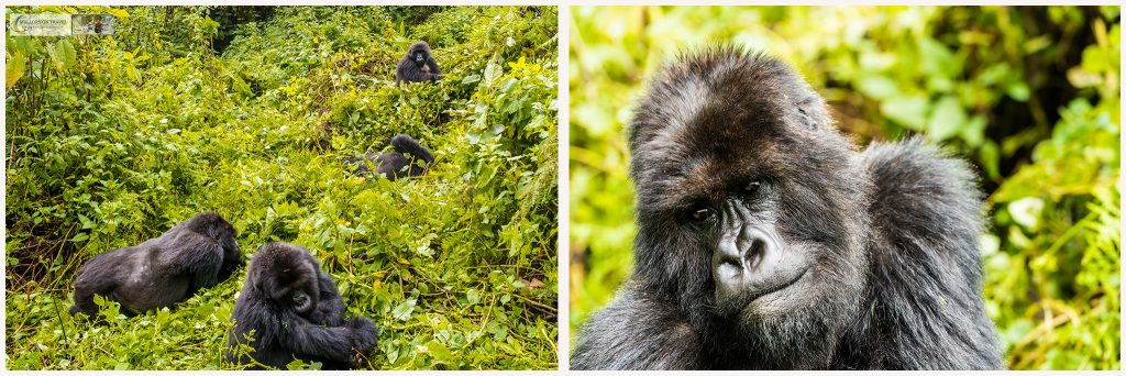 Wildlife photography; The Titus mountain gorilla troop Volcanoes National Park, in Rwanda, Africa the Land of a thousand hills on Mallory on Travel adventure travel, photography, travel Iain_Mallory_Rwanda-montage1