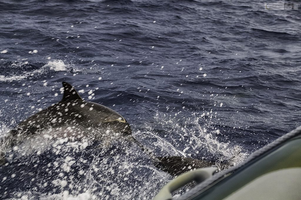 A super pod of common dolphins in the Atlantic Ocean, whale watching from Lajes do Pico in the Portuguese Azores islands on Mallory on Travel adventure travel, photography, travel Iain Mallory_azores 001