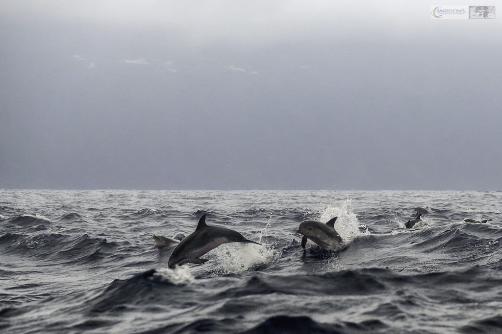 Atlantic common dolphins forming a superpod off the island of Pico in the Azores, a Portuguese archipelago in the Atlantic Ocean off the coast of the coast of Portugal on Mallory on Travel adventure travel, photography, travel Iain Mallory_azores 002