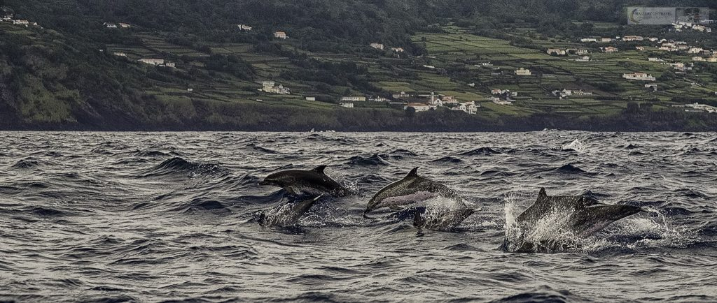 Atlantic spotted dolphins from a whale watching boat off Lajes do Pico in the Azores, the Portuguese archipelago in the Atlantic Ocean on Mallory on Travel adventure travel, photography, travel Iain Mallory_azores 004