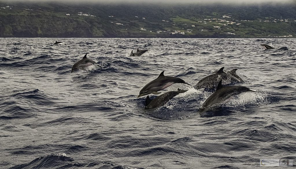 A superpod of Atlantic common dolphins cruising the Atlantic Ocean, on a whale watching cruise from Lajes do Pico harbour with Aqua Acores tour operator in the Azores, an autonomous region of Portugal on Mallory on Travel adventure travel, photography, travel Iain Mallory_azores 006