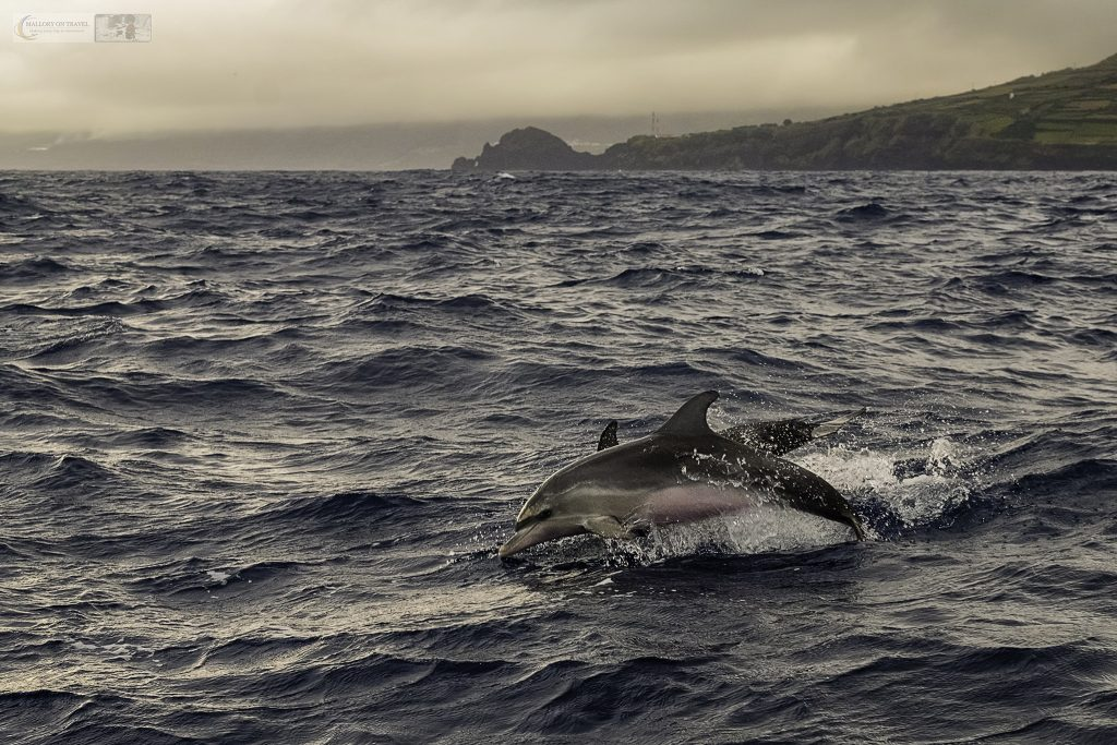 Atlantic spotted dolphins in a superpod off the island of Pico, with whale watching tour operator Aqua Acores out of Lajes do Pico harbour in the Azores, an island of Portugal on Mallory on Travel adventure travel, photography, travel Iain Mallory_azores 008