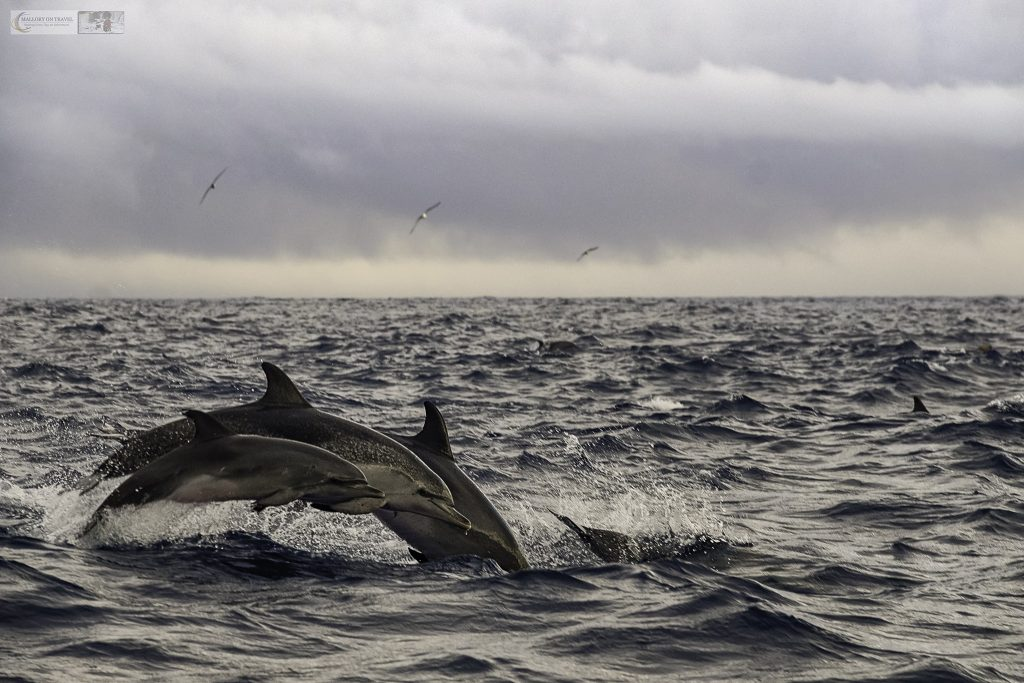 Seeing dolphins on a whale watching trip off Pico in the Portuguese Azores on Mallory on Travel adventure travel, photography, travel Iain Mallory_azores 010