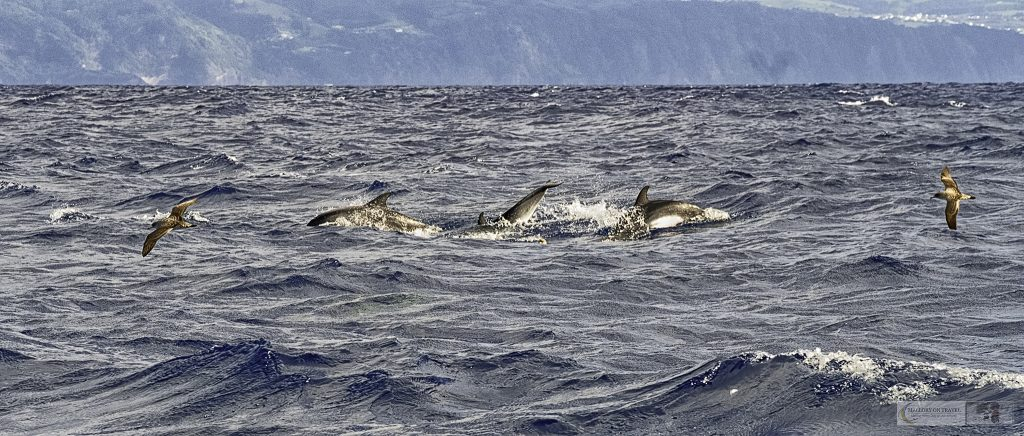 Dolphins and seabirds on a whale watching expedition in the Atlantic Ocean off the coast of Pico, one of the Portuguese islands which make up the Azores on Mallory on Travel adventure travel, photography, travel Iain Mallory_azores 024