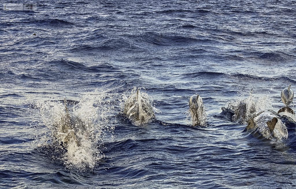 Atlantic common dolphins off Pico island in the Portuguese Azores on Mallory on Travel adventure travel, photography, travel Iain Mallory_azores 025