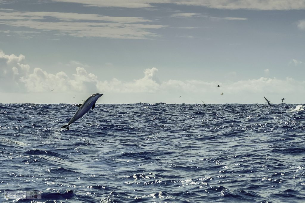 A breeching or jumping Atlantic common dolphin near Pico on a whale watching cruise with Aqua Acores from Lajes do Pico in the Azores, a Portuguese archipelago overseas territory on Mallory on Travel adventure travel, photography, travel Iain Mallory_azores 031
