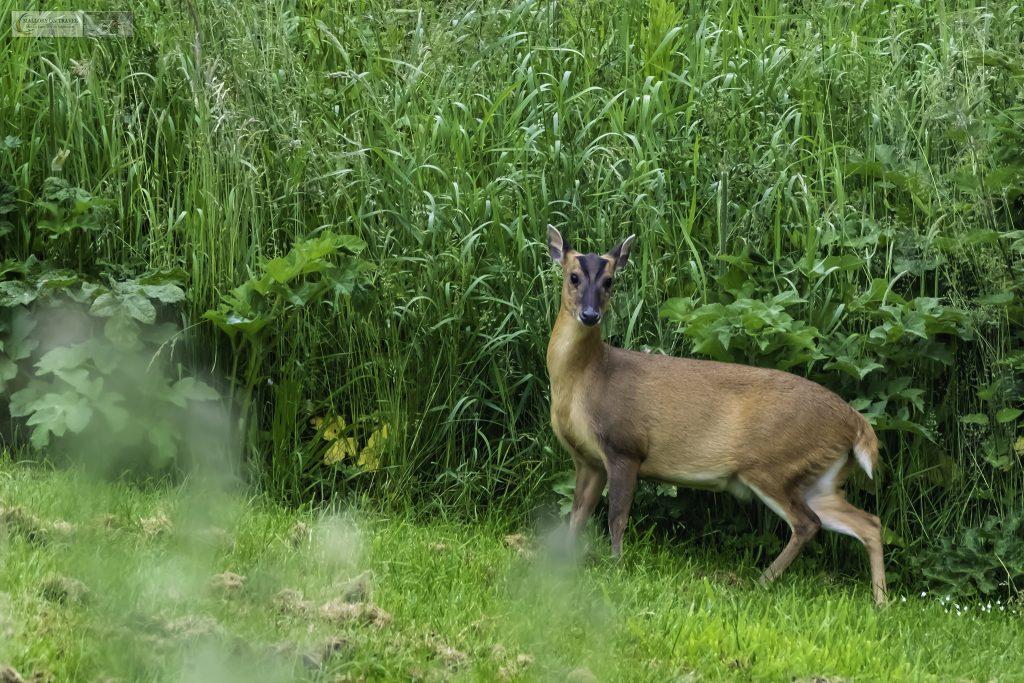 A Rutland deer grazing at Horn Mill trout farm, near Empingham village near Rutland Water on Mallory on Travel adventure travel, photography, travel Iain Mallory_Gwash 002