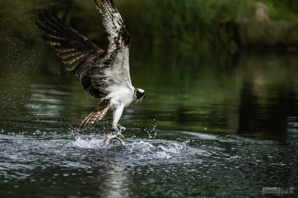 Number 28, one of the Rutland Water ospreys at Horn Mill Trout Farm on the River Gwash, near the village of Empingham in England's smallest county Rutland, near Leicestershire on Mallory on Travel adventure travel, photography, travel Iain Mallory_Gwash 023