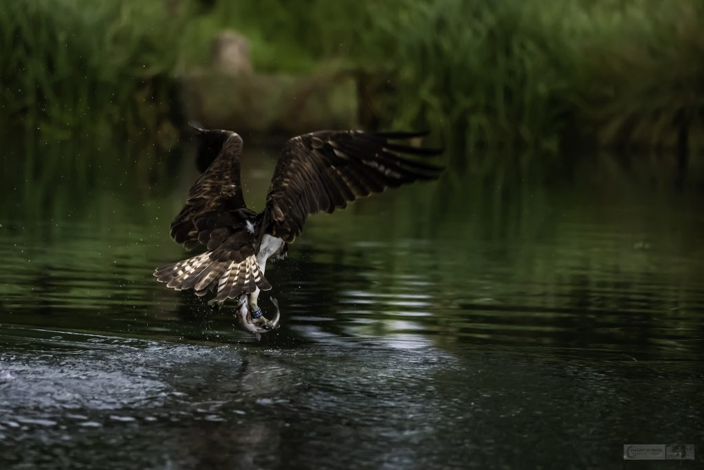 Number 28, one of the Rutland Water ospreys at Horn Mill Trout Farm on the River Gwash, near the village of Empingham in England's smallest county Rutland, near Leicestershire on Mallory on Travel adventure travel, photography, travel Iain Mallory_Gwash 026