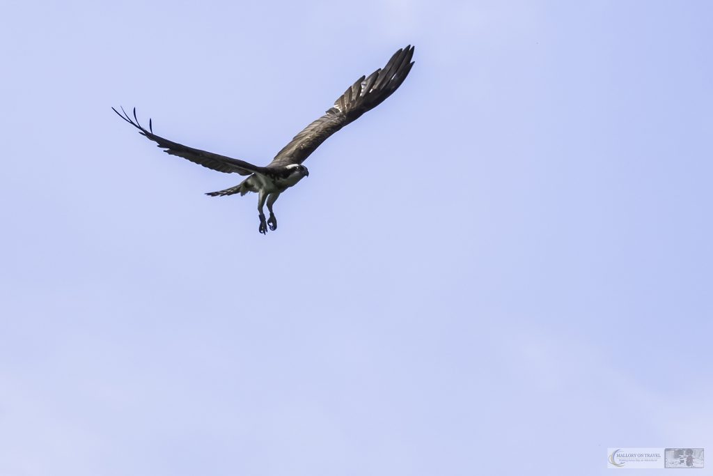 One of the Rutland Water ospreys at Horn Mill Trout Farm on the River Gwash, near the village of Empingham in England's smallest county Rutland, near Leicestershire on Mallory on Travel adventure travel, photography, travel Iain Mallory_Gwash 039