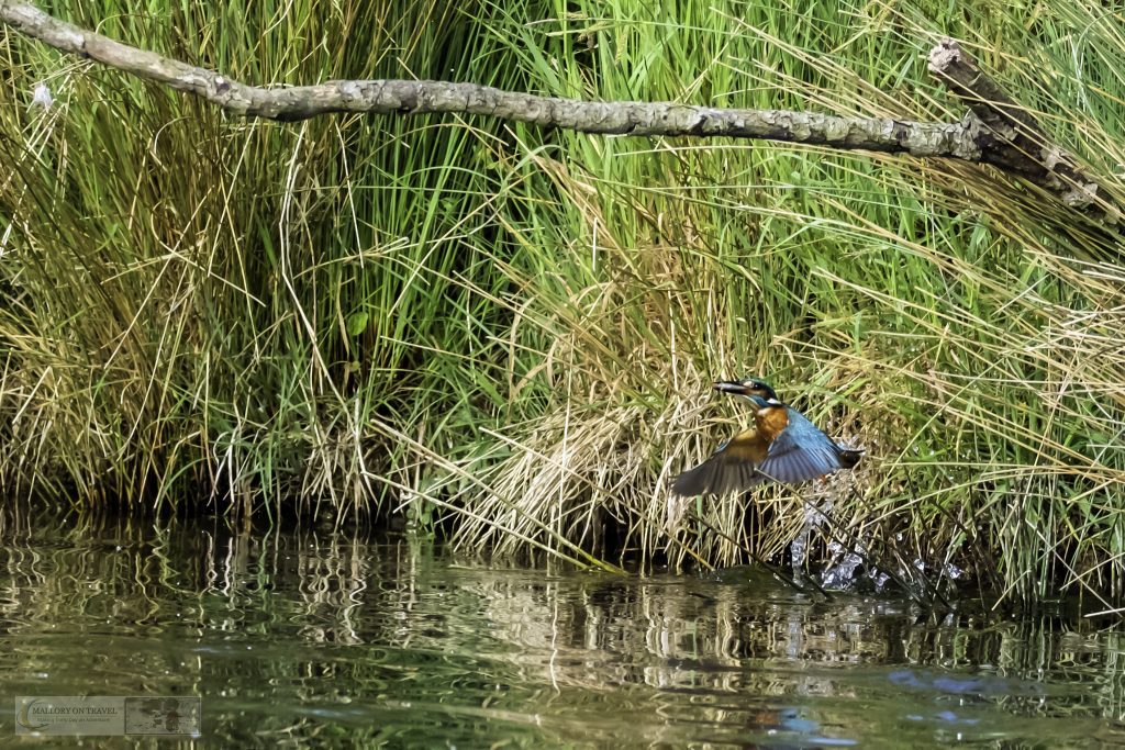 Rutland Water kingfisher fishing at the Horn Mill trout farm on the River Gwash, near Empingham village in Rutland near Leicestershire on Mallory on Travel adventure travel, photography, travel Iain Mallory_Gwash 042