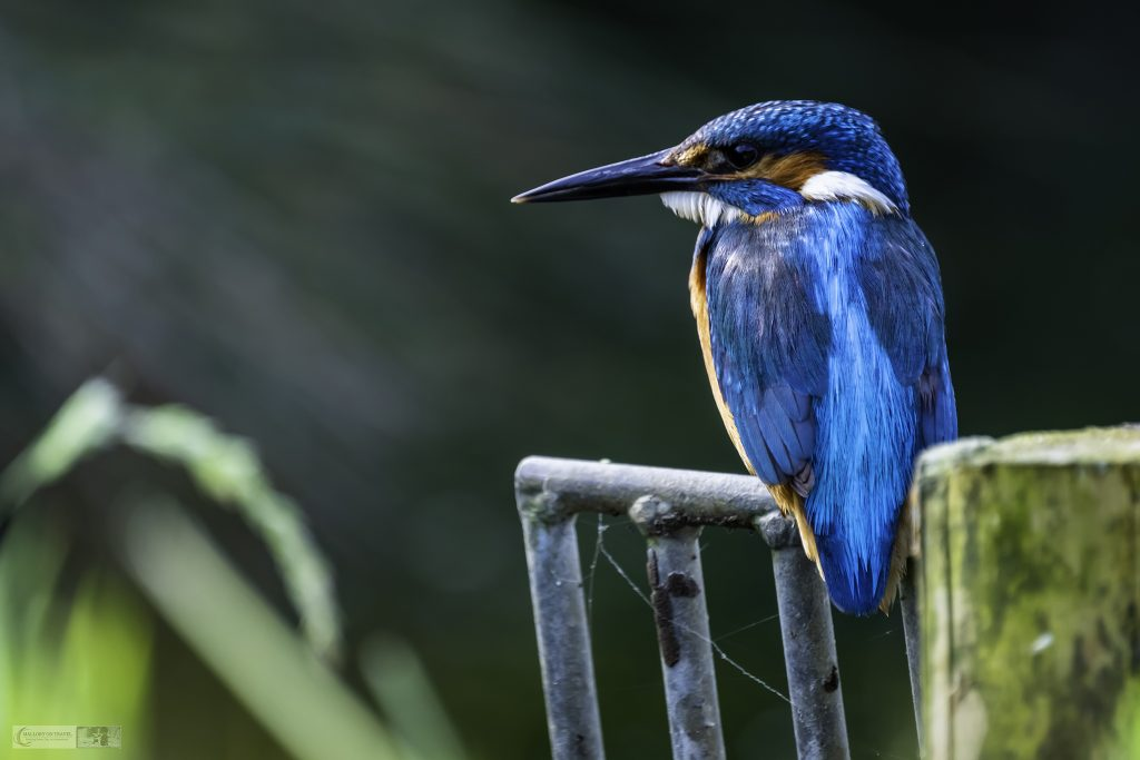 Rutland Water kingfisher at the Horn Mill trout farm on the River Gwash, near Empingham village in Rutland near Leicestershire on Mallory on Travel adventure travel, photography, travel Iain Mallory_Gwash 056