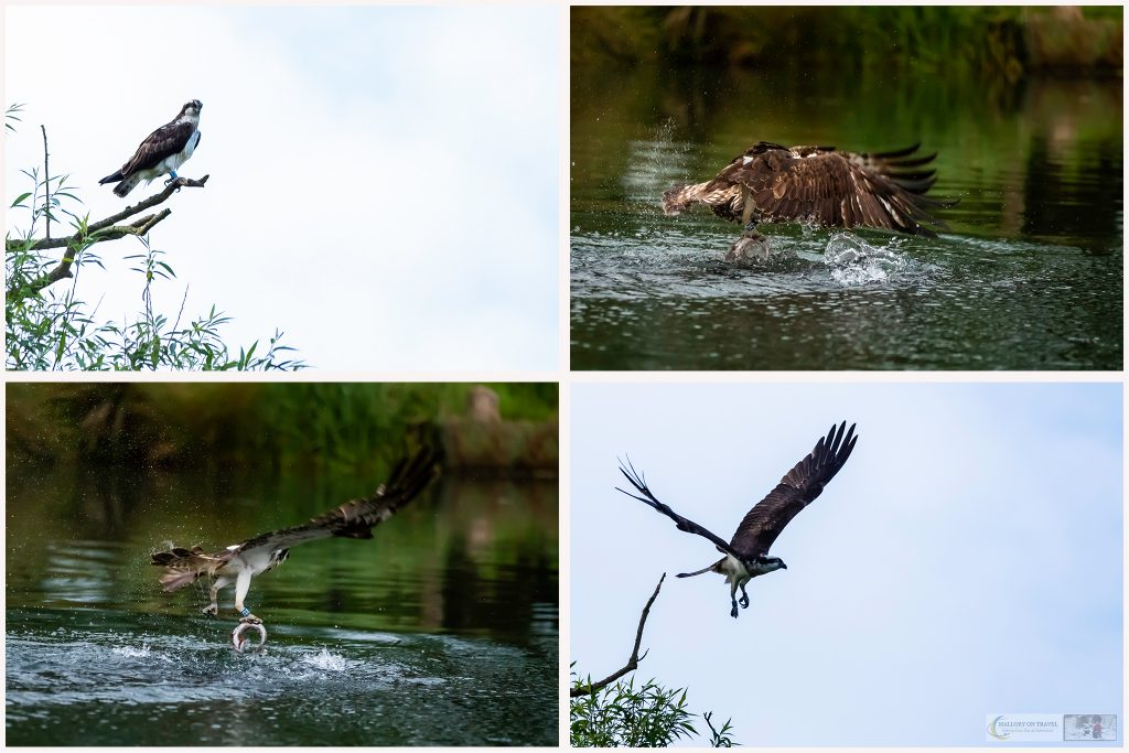 Rutland Water ospreys at Horn Mill Trout Farm on the River Gwash, near the village of Empingham in England's smallest county Rutland, near Leicestershire on Mallory on Travel adventure travel, photography, travel Iain Mallory_Osprey Montage