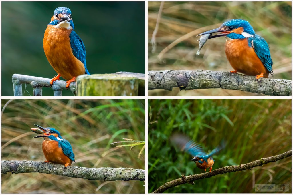 Rutland Water ospreys; a kingfisher fishing at the Horn Mill trout farm on the River Gwash, near Empingham village in Rutland near Leicestershire on Mallory on Travel adventure travel, photography, travel Iain Mallory_Osprey Montage01