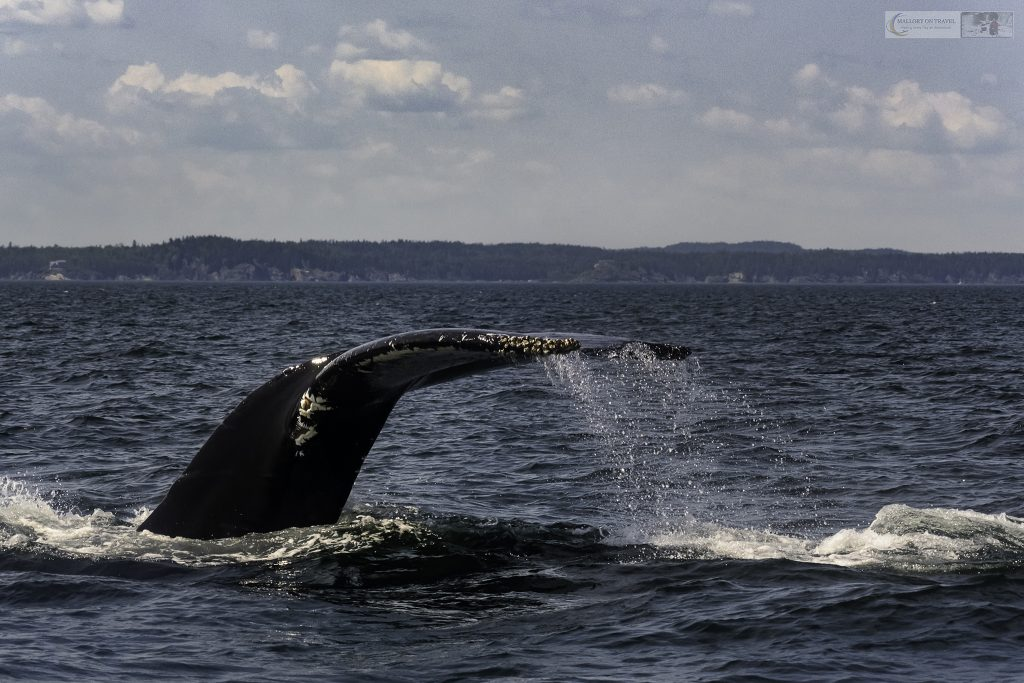The tail fluke of a humpback whale off Head Harbour Lighthouse, Campobello Island in the province of New Brusnwick, Canada on Mallory on Travel adventure travel, photography, travel -Mallory_NewBrunswick-6