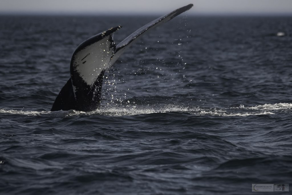 A diving humpback whale displays a tail fluke off the island of Campobello in Canada's maritimes on Mallory on Travel adventure travel, photography, travel -Mallory_NewBrunswick-7